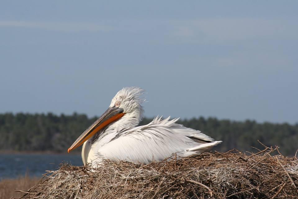 Dita e Pelikanit Kacurrel ne Shqiperi-calendar.Al